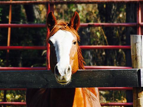 Horse Caption